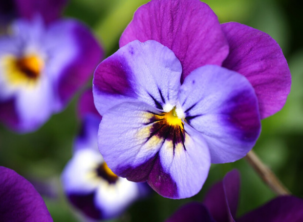Nome Violeta: flor violeta