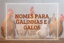 132 nomes para galinhas e galos de estimação